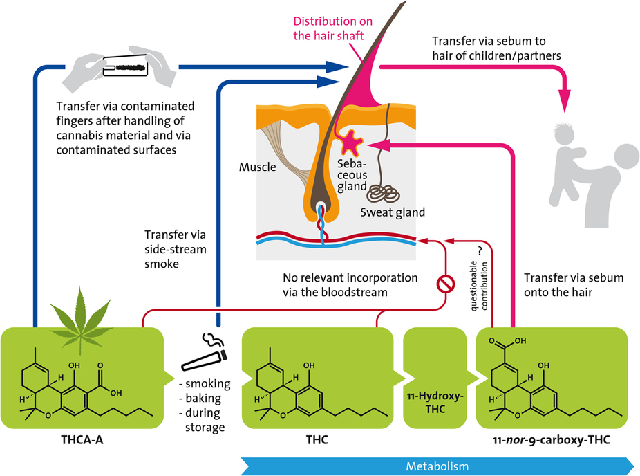 how cannabinoids get into yur hair